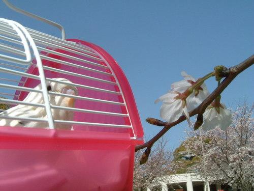初めての桜の木